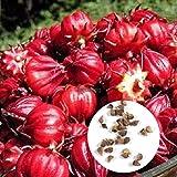 CUSHY Roselle Rosso Carciofo Semi Giamaica Reds Seeds Agsg 01