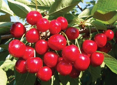 Pianta alberello da frutto albero di ciliegia vittoria - Alberello da giardino ...