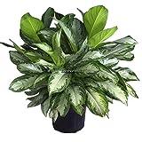 ASTONISH I semi Confezione: 10 pezzi: 10/20/50 Pz Heirloom Aglaonema verde Taro semi perenne fiore Ehe8