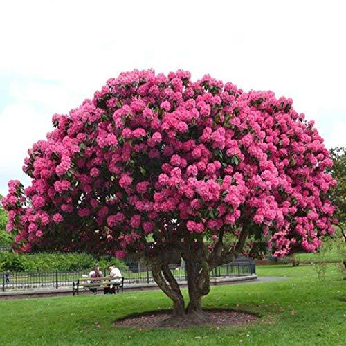 SummerRio Garten-10 Stück Sakura Samen Baum Samen Riesen Rosa Sträucher Mehrjährige Blühende Pflanzen Hausgarten Winterhart
