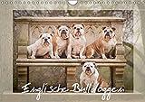 Englische Bulldoggen (Wandkalender 2019 DIN A4 quer): Schnuten zum verlieben - Englische Bulldoggen (Monatskalender, 14 Seiten ) (CALVENDO Tiere)