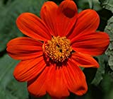 SeeKay Tithonia rotundifolia Torch - appx 150 seeds
