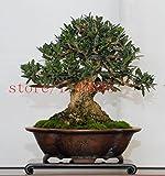 árboles bonsai de olivo Bonsai 10PCS (Olea europaea), Semillas Bonsai Mini Olivo, Oliva Bonsai Las semillas frescas de árboles exóticos