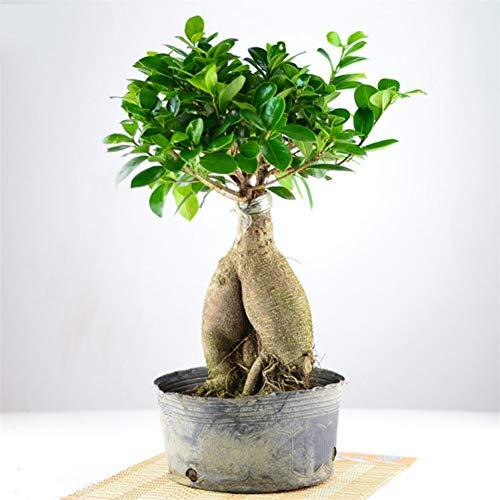 50 pezzi ficus lyrata seeds bonsai tree decorazioni per la casa in vaso