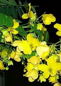 TROPICA - Prachtkassie (Cassia glauca syn. Cassia surattensis) - 20 Samen