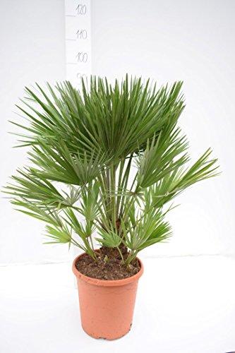 Palme, Chamaerops humilis, Zwergpalme - verschiedene Größen (80-90cm - Topf Ø 26cm)