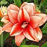 GEOPONICS 1 1 Birne 1 samen nur Hippeastrum Zwiebeln Bonsai nzwiebeln Amarilis Rizomas Barbade Lily Topfgartenpflanze Echte Amaryllis Zwiebeln