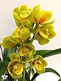 1 blühfähige Orchidee der Sorte: Cymbidium Butterball, traumhafte Orchidee vom deutschen Züchter