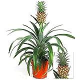 suchergebnis auf f r ananas pflanze garten. Black Bedroom Furniture Sets. Home Design Ideas