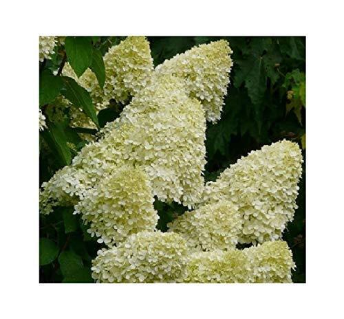1x Frisch Hortensie Limelight Hortensien Pflanzen Garten Pflanze K-P339