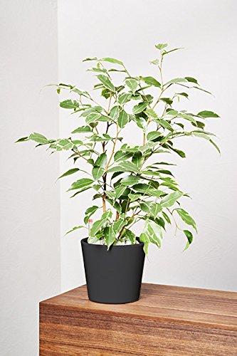 EVRGREEN Birkenfeige | Ficus Benjamini | Zimmerpflanze in Hydrokultur | im Set inkl. Keramiktopf (anthrazit/schwarz) | ficus benjamina golden King