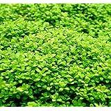 Wasserflora Kuba Zwerg-Perlenkraut / Hemianthus callitrichoides CUBA