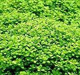 Tropica 1-2-GROW! Kuba Zwerg-Perlenkraut / Hemianthus callitri. CUBA von TROPICA