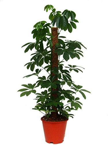 Schefflera arboricola - kleine Strahlenaralie am Moosstab Zimmerpflanze groß - Höhe ca. 100 cm - 19 cm Topf