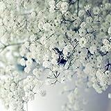Soteer 50 Stück Samen Schleierkraut Stauden Gypsophila mehrjährig Schneeflocke für Balkon, Garten, Topf usw.