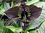 Portal Cool Fledermausblume, 10 Samen des tropischen Pflanze