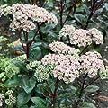 Fetthenne 'Matrona' - Sedum telephium 'Matrona' - Staude von Native Plants bei Du und dein Garten