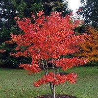 "Acero rosso giapponese""acer palmatum osakazuki"" in vaso 10L"
