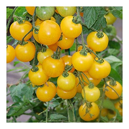 Tomate Window box yellow - Tomate cerise jaune - 50 graines
