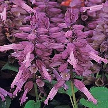 PLAT FIRM Germination Les graines PLATFIRM-50 Graines Salvia Vista Lavande Graines de...