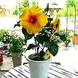 Green Seeds Co. 100 stücke Hibiscus Blume bonsai Bonsai Riesen Hibiscus bonsai Zimmerpflanzen Blumen Semillas Für Hausgarten Einfach Zu Wachsen Sementes: Grün