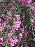 Elfenbein-Ginster - Cytisus praecox - Hollandia - Laubgehölz - rote Blüte - 30-40 cm