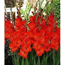 bulbos de gladiolo verdaderos, gladiolo (semilla gladiolos) hermosas bulbos de flores simboliza la nostalgia, el jardín de plantas bonsai-2bulbs