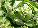 Kopfsalat - Kagraner Sommer - 200 Samen