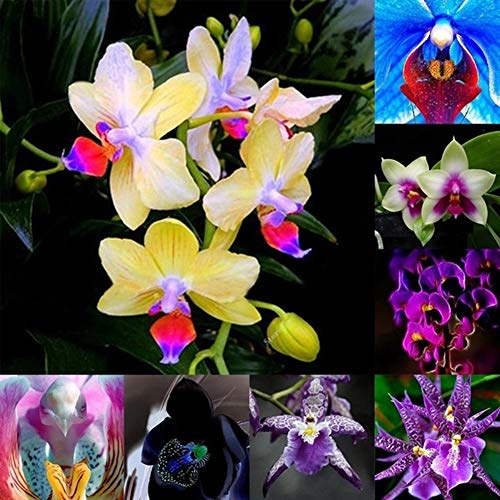 clifcragrocL 150 Pz Semi di Orchidea Colore Misto, Semi di Bonsai Semi di Fiori Semi di Piante Semi di Erba per Home Office Garden Decor Semi di Orchidea