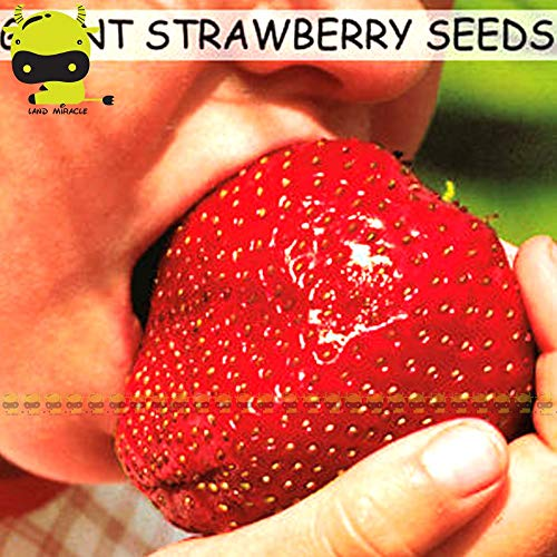 Go Garden Géant Ruby Strawberry Organic Seed, 100 graines/Pack, Super Sweet fruit juteux semences Bonsai plantes pour la maison