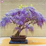 Virtue 10 stücke Wisteria baum bonsai schöne Glyzinien blume mehrjährige innen oder außen blühende topfpflanzen für hausgarten anlage: 1