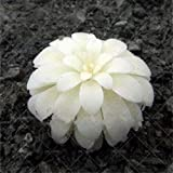 AGROBITS suculentas 100pcs bonsai color de la mezcla en macetas plantas suculentas Perenne Planta de interior flor de cactus piedra ornamental para jardín de su casa: 21