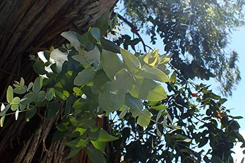 ScoutSeed EUCALYPTUS CINEREA 20 Samen 20 Samen Eukalyptus