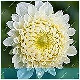 ZLKING 2 Semillas Pcs china dalia Bonsai bombillas no dalia planta fácil de cultivar Tasa Hermosa alta germinación de semillas en maceta 9