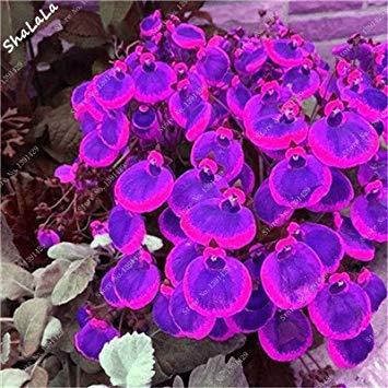 Prime Vista 100 Pz Bella Divertente Semi di Fiori Calceolaria Herbeohybrida Semi Indoor Bonsai Pianta Balcone Cortile Terrazza Pianta In Vaso 8