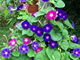 #5: Seedscare Morning Glory (Mixed Pack of 50 Seeds)