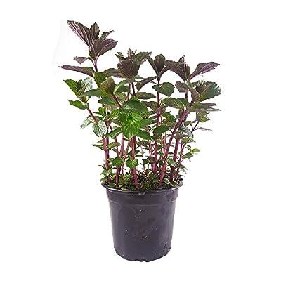 Schokoladenminze Pflanze (Mentha x piperita var. piperita) Frische Minzpflanze - Minze - Kräuterpflanze für süße Desserts und Tee - Gärtnerqualität von DESCENA bei Du und dein Garten