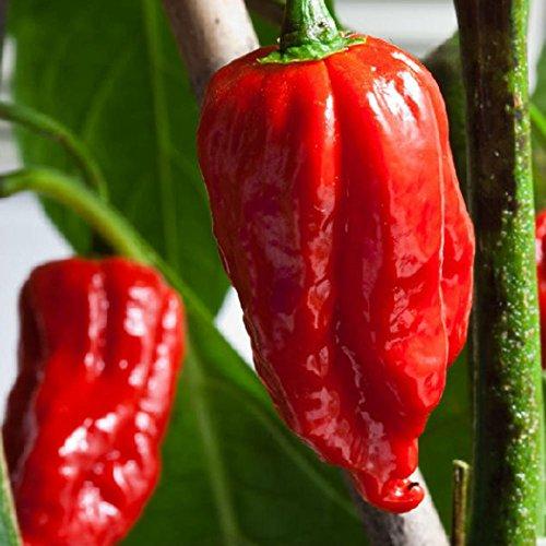 mymotto 100 Pcs New Nice Adorable Vegetable Plant Graines Fleurs parfumées Indian Devil Pepper Graines