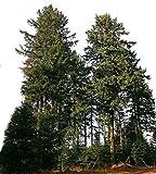 Gewöhnliche Douglasie 20 Samen *Größtes Exemplar war 133 Meter hoch*