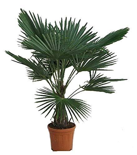 faecherpalme winterhart Winterharte Hanfpalme - Trachycarpus fortunei - 140-160cm Stamm 30-40cm im 17Ltr. Topf