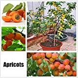 Soteer Garten - Selten Obst Samen verschidene Sorten von Obstsamen Wassermelone/Kirsche/Mango/Banane/Kiwi/Apfel/Orange/Japanische Wollmispel/Litschi usw.