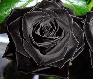 Exotic Plants Rose nero – Rosa nero - 10 semi