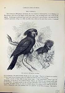 Oiseaux Casmalos Microglossus Aterrimus de Brehm Jones C1860 Cassell