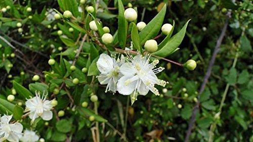 Myrthus communis, very showy nice white flowers, 25 graines