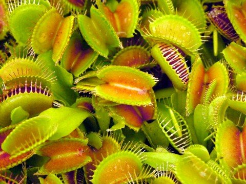 roots-shoots-grow-your-own-venus-fly-trap-plant-catches-eats