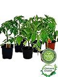 Tomatenset, 6 Tomatenpflanzen je 2x Stabtomate, Fleischtomate & Cocktailtomate, Frische Tomaten Pflanzen!