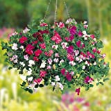Flower Seeds Sweet Pea-Royal Faimily Mix Flower Seeds For Home Garden-100 Seeds by Creative Farmer