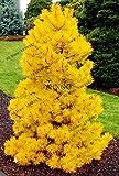 Shopmeeko 50 teile/beutel Einzigartige heißer verkauf Blaufichte Picea Baum Topf Bonsai Hof Garten Bonsai Pflanze Kiefer Plantas: 3