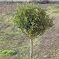 Kugelsteppenkirsche 'Globosa' - Prunus fruticosa 'Globosa' 220 cm, StU 12-14 von Gartengruen24 auf Du und dein Garten