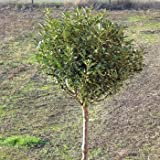 Steppenkirsche Globosa Prunus fruticosa Globosa Kugelbaum Stammhöhe 200 cm, Stammumfang 8-10 cm, Containeware Hausbaum Gartenbaum